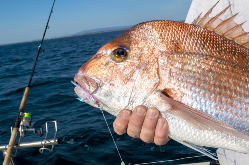 snapper charters port phillip bay